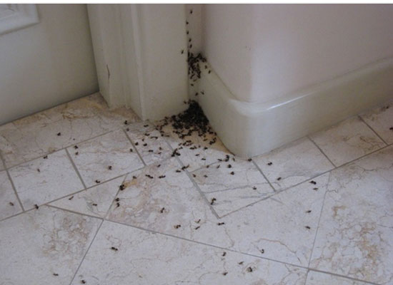 ants in the home